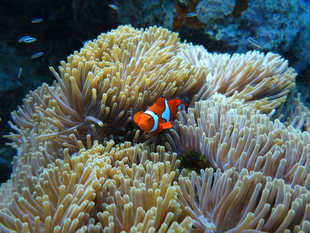 Un poisson clown e la Mer Rouge, à Marsa Alam