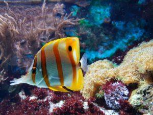 Un poisson papillon sur le corail