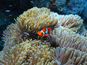Un poisson clown e la Mer Rouge, à Marsa Alam